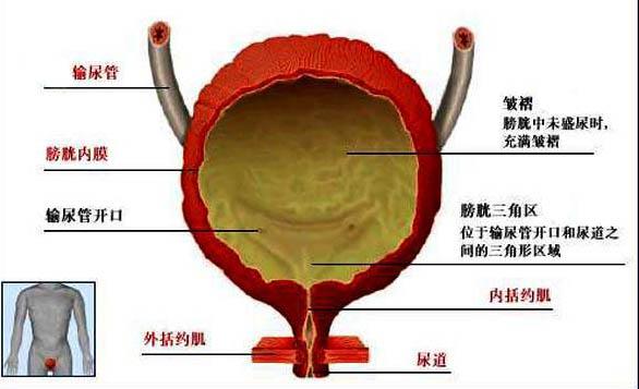 肾解剖手绘